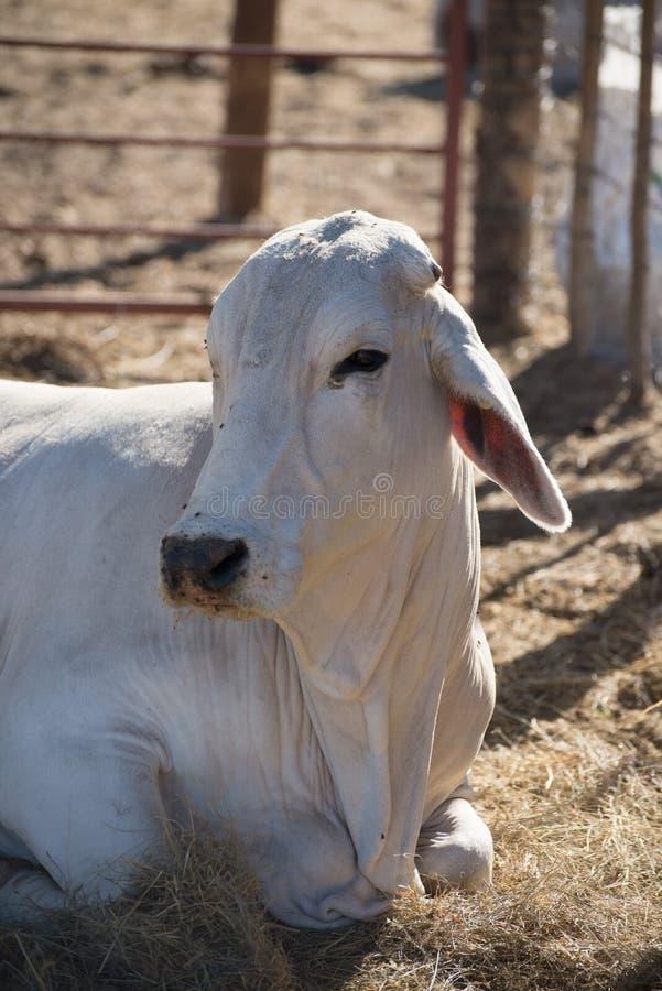 Vaca do brâmane que encontra-se para baixo fotos de stock