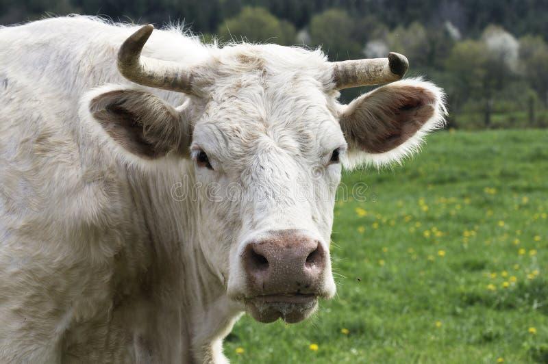 Download Vaca do charolês imagem de stock. Imagem de paisagem - 16873799