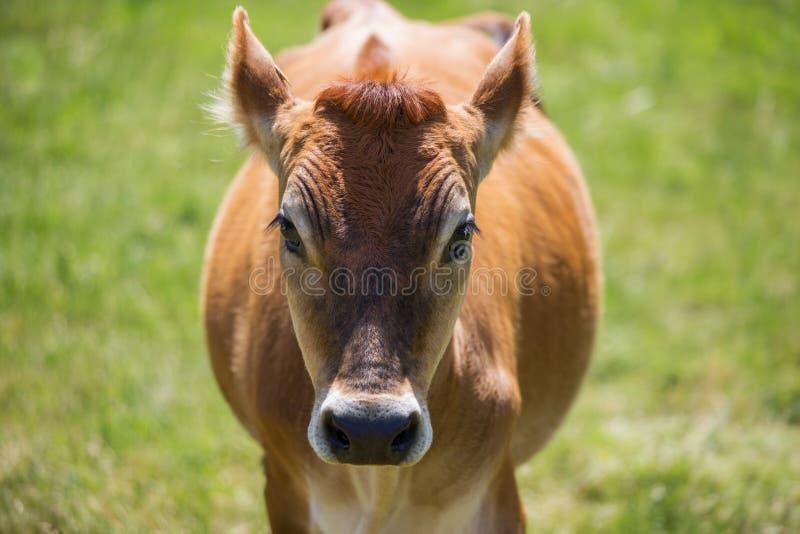Vaca do jérsei imagens de stock royalty free