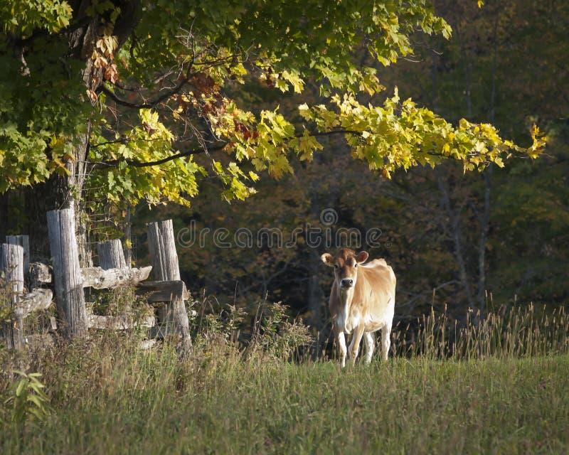 Vaca do jérsei na luz do ajuntamento da manhã Sun imagens de stock