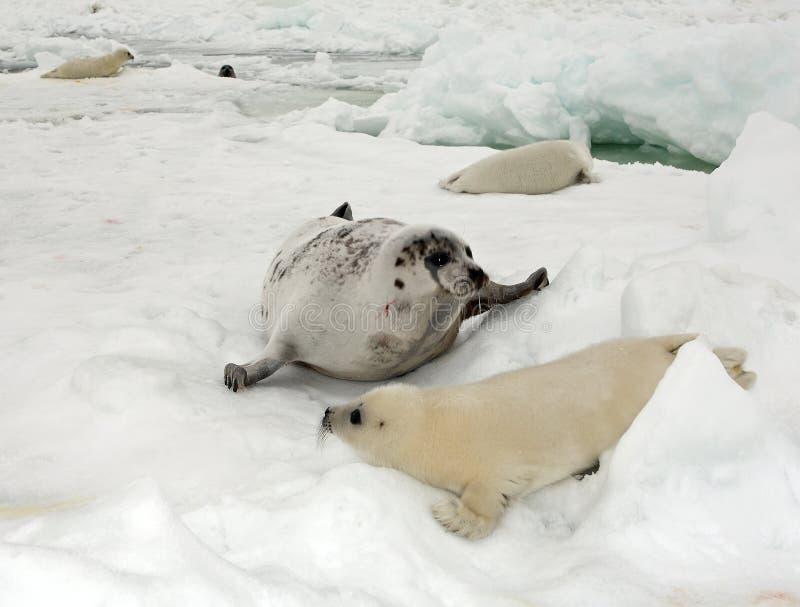 Vaca do selo de harpa e filhote de cachorro recém-nascido no gelo foto de stock