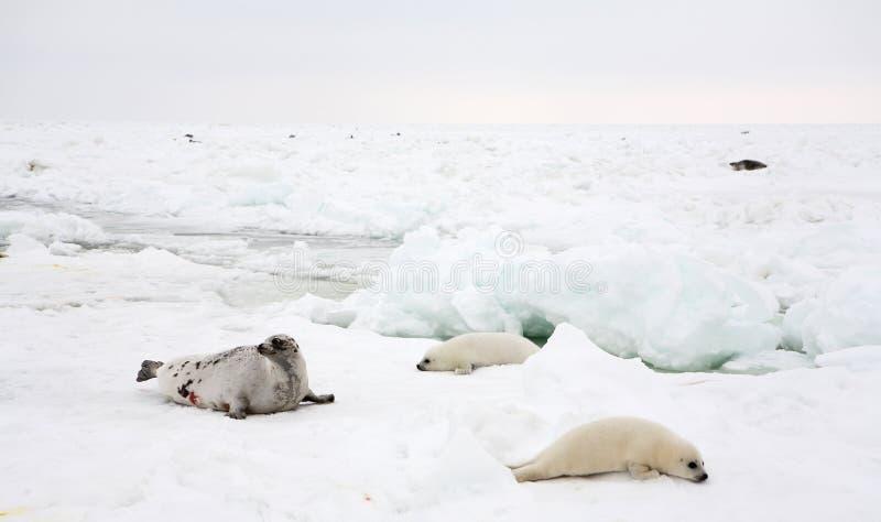 Vaca do selo de harpa e filhote de cachorro recém-nascido no gelo imagem de stock