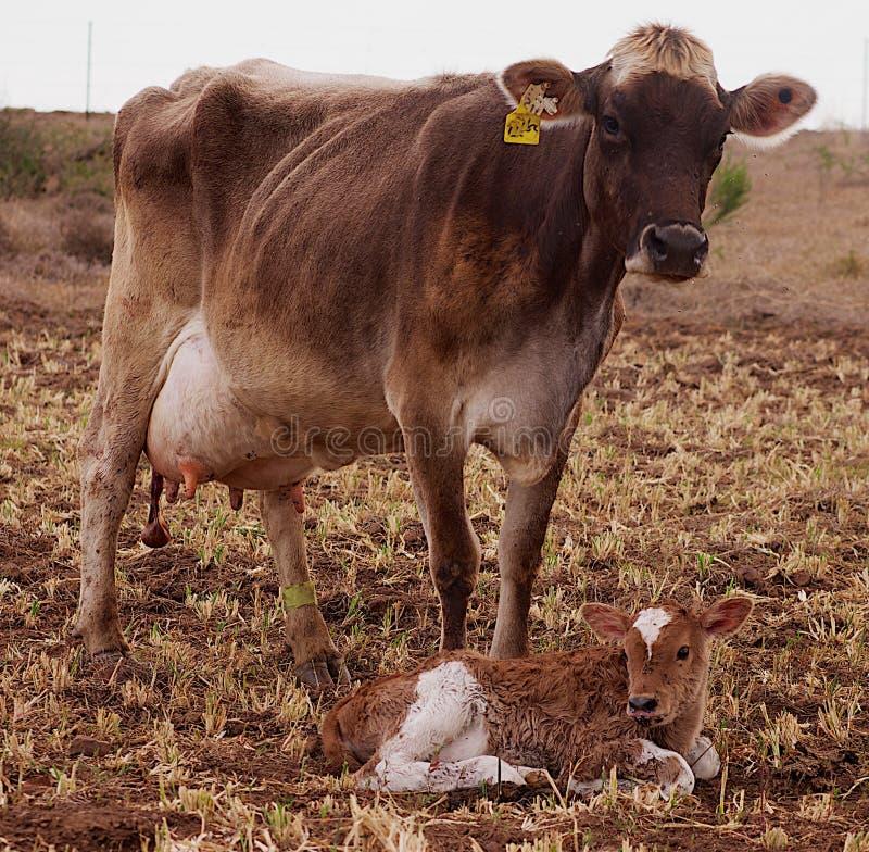 Vaca do suíço de Brown com sua vitela recém-nascida fotografia de stock