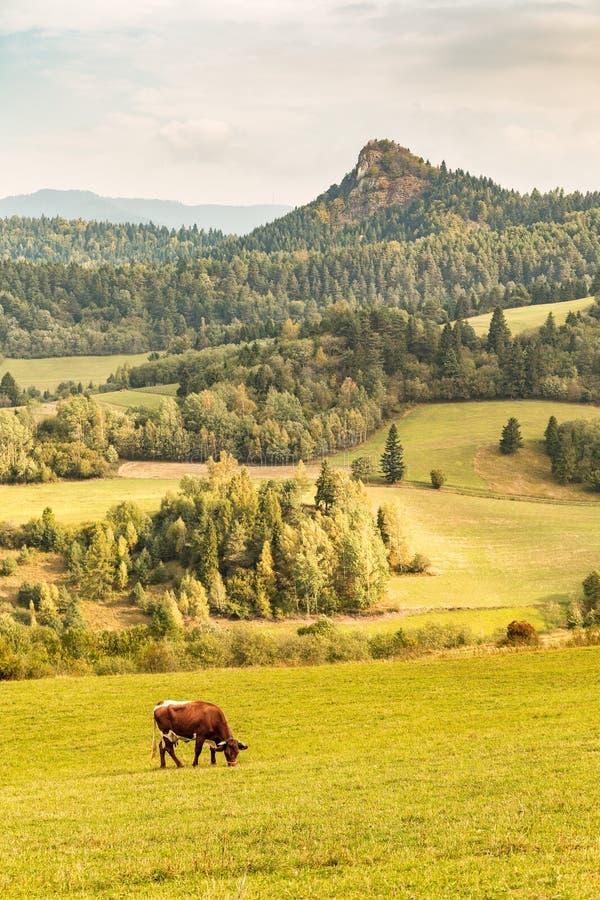 Vaca doméstica em prados de uma montanha foto de stock royalty free