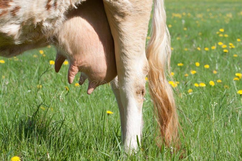 Vaca dos jovens do Udder fotografia de stock royalty free