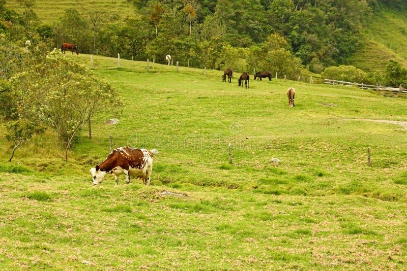 Vaca e cavalos no vale de Cocora com palma de cera, entre o m fotos de stock