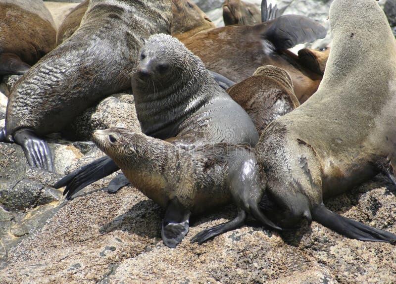Vaca e filhote de cachorro australianos do lobo-marinho foto de stock