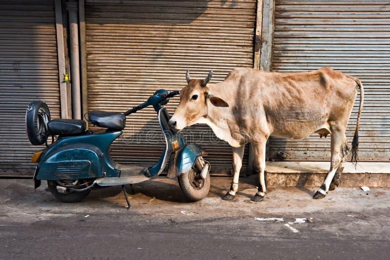 Vaca e 'trotinette', Deli velha, India. fotos de stock royalty free