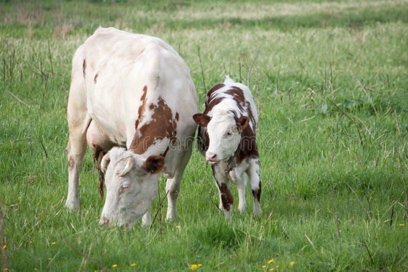 vaca e vitela imagens de stock