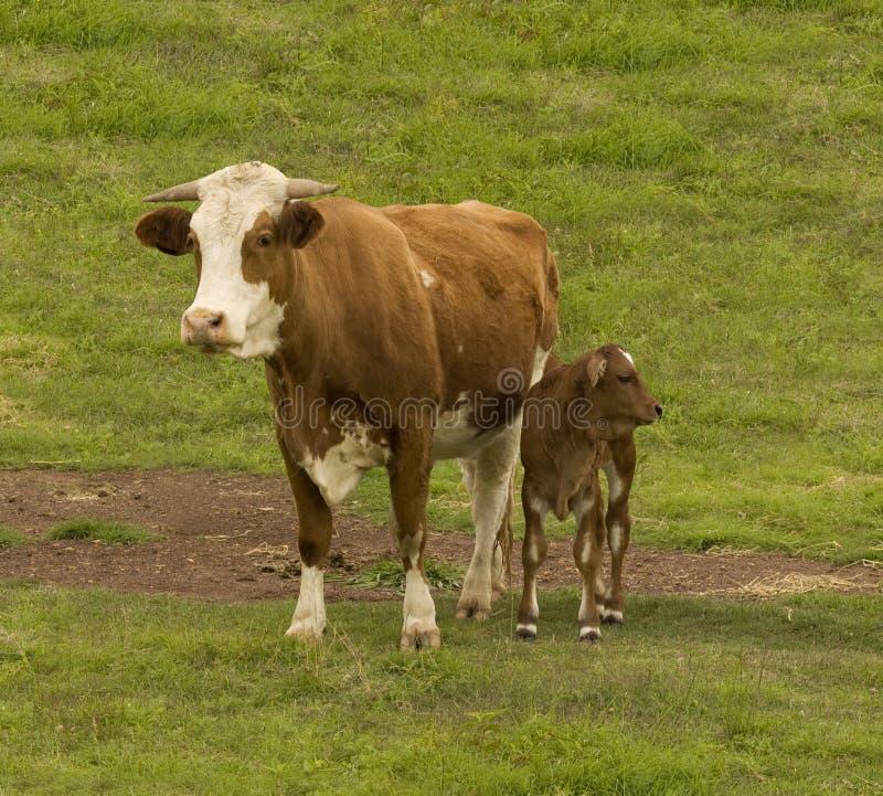 Vaca e vitela australianas da raça dos gados bovinos imagens de stock