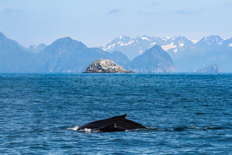 Vaca e vitela da baleia de corcunda, mãe e criança imagem de stock