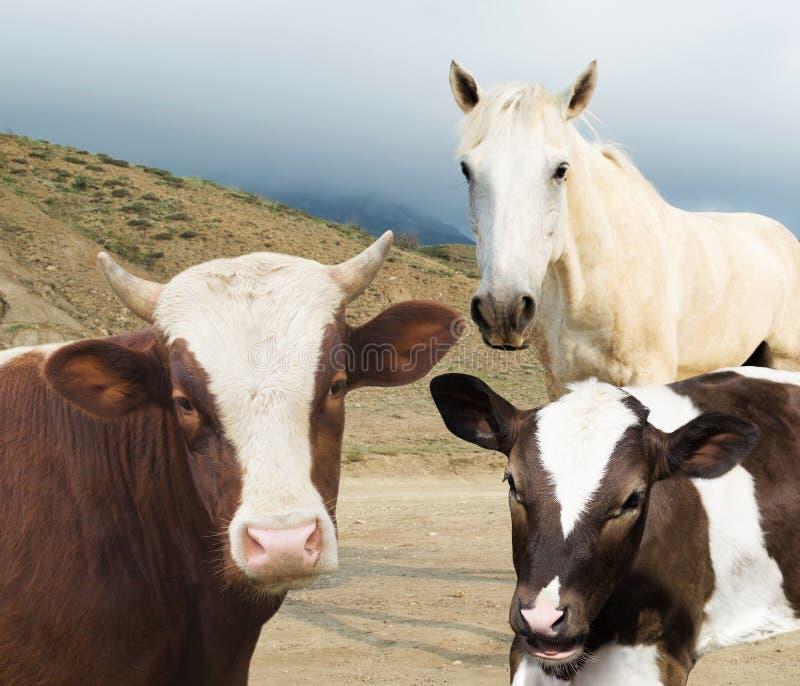 Vaca e vitela e cavalo fotos de stock