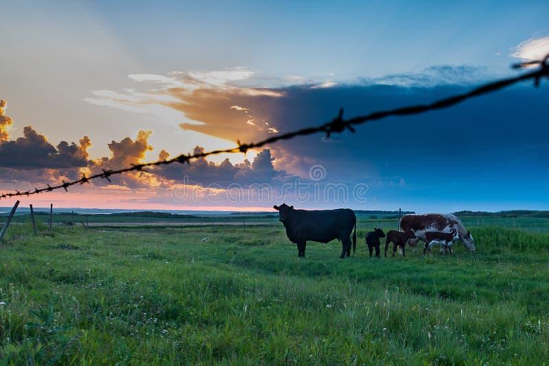 Vaca e vitela nas pradarias imagens de stock royalty free