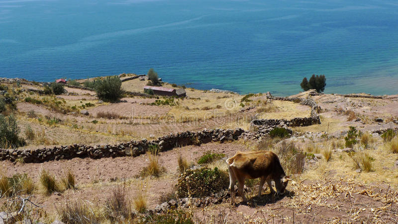 Download Vaca em Taquile imagem de stock. Imagem de agricultura - 16857271