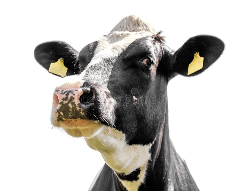 Vaca em um branco imagem de stock