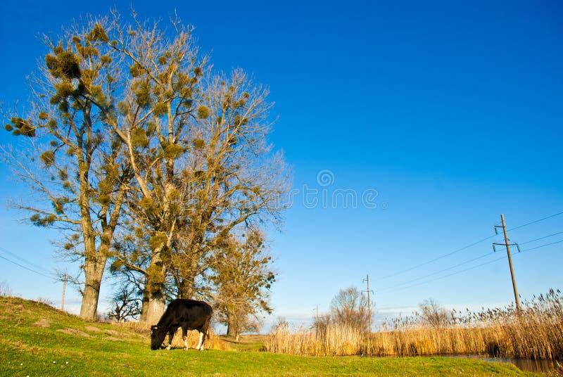 Vaca em um prado fotografia de stock