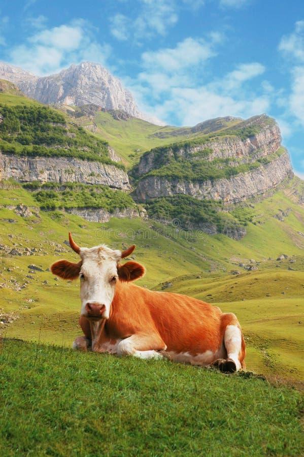 Vaca En Altas Montañas Foto de archivo libre de regalías