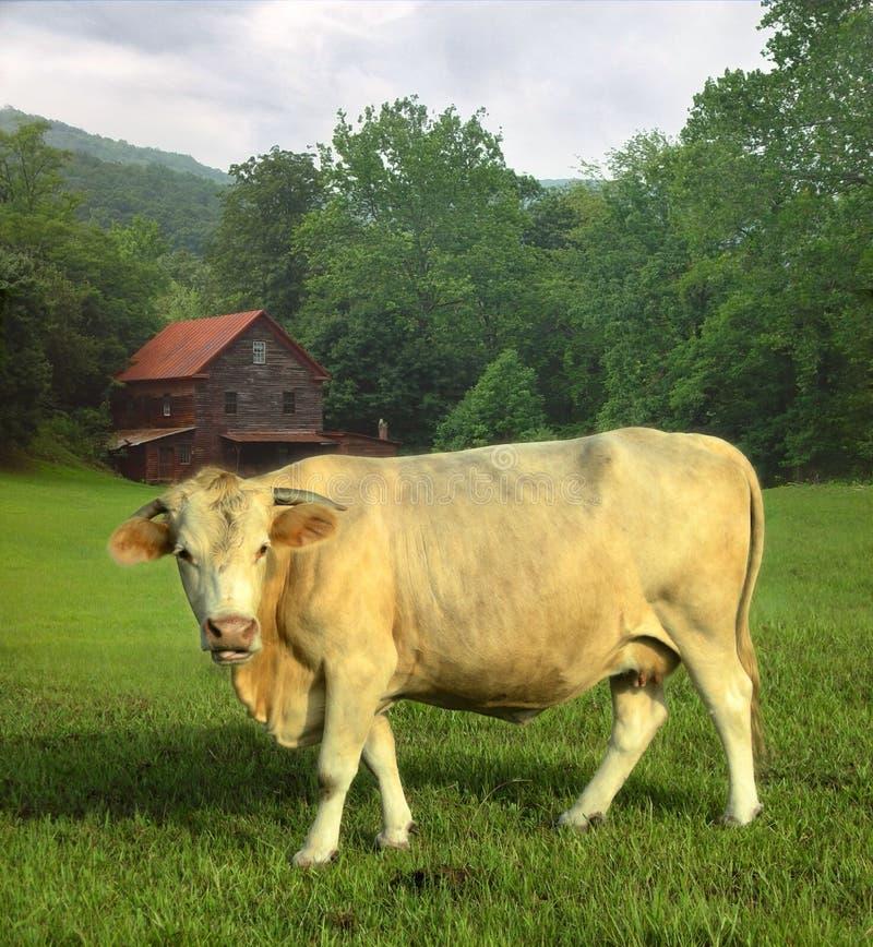 Vaca en campo fotografía de archivo libre de regalías