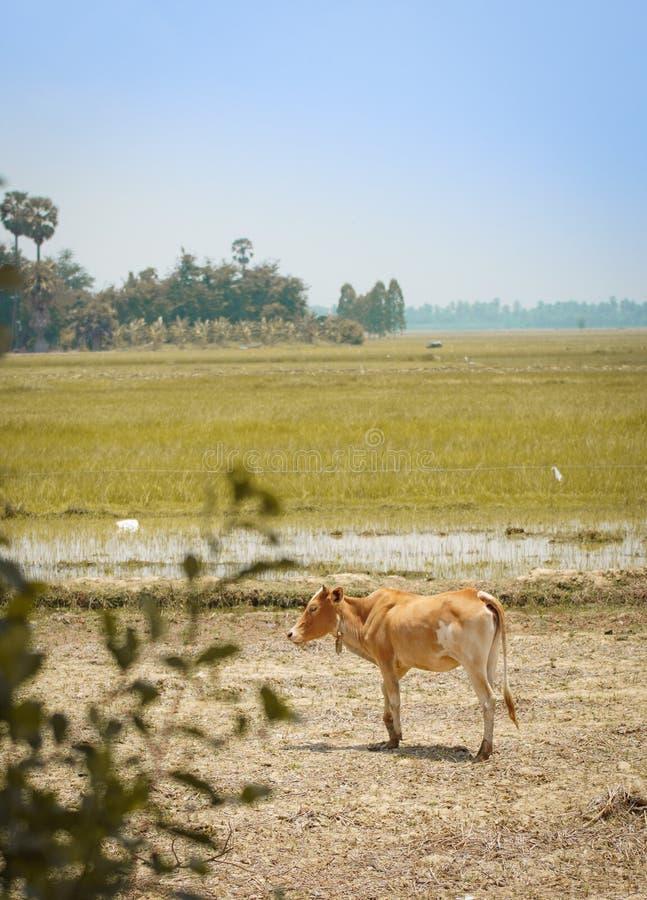 Vaca en el campo imagenes de archivo