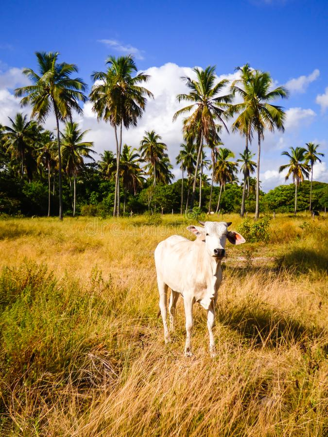 Vaca en el rastro holandés de los holandeses del DOS de Trilha, caminando la trayectoria que va de naranja del fuerte a Vila Velh fotografía de archivo libre de regalías