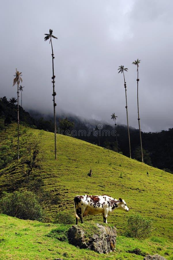 Vaca en el valle de Cocora, central de Cordiliera, Salento, Colombia fotos de archivo
