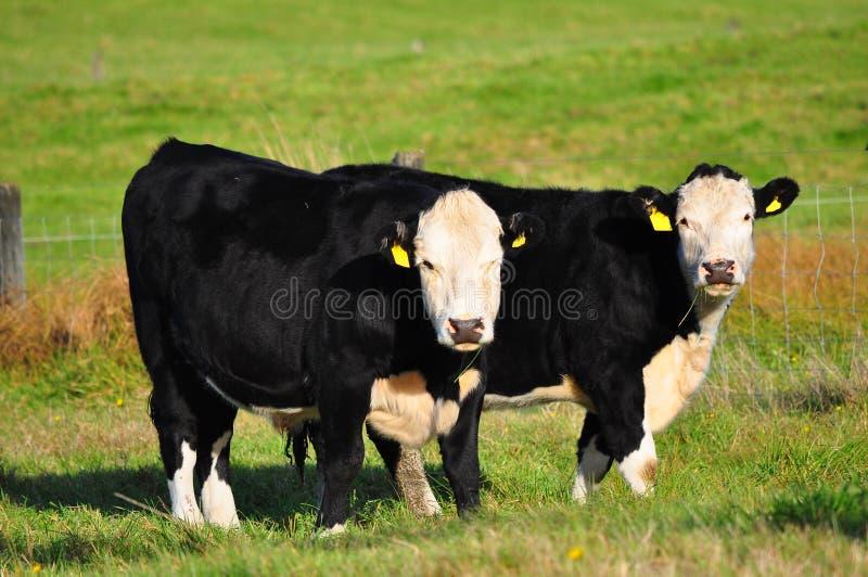 Vaca en hierba verde imagenes de archivo