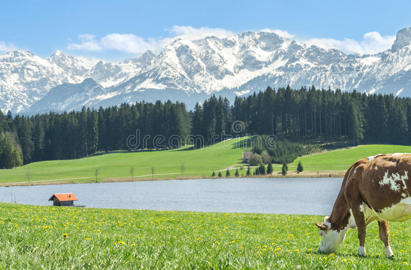 Vaca en hierba verde en la orilla del lago y las montañas alpinas foto de archivo
