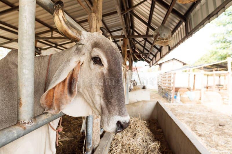 Vaca en la granja, ganado en Tailandia imágenes de archivo libres de regalías