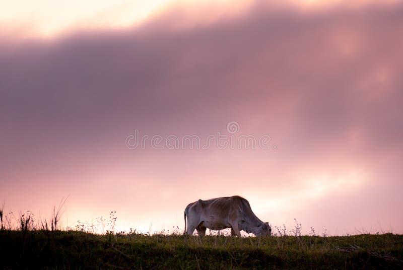 Vaca en la pradera durante puesta del sol fotos de archivo libres de regalías