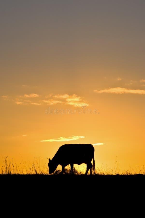 Vaca en la puesta del sol imagen de archivo libre de regalías