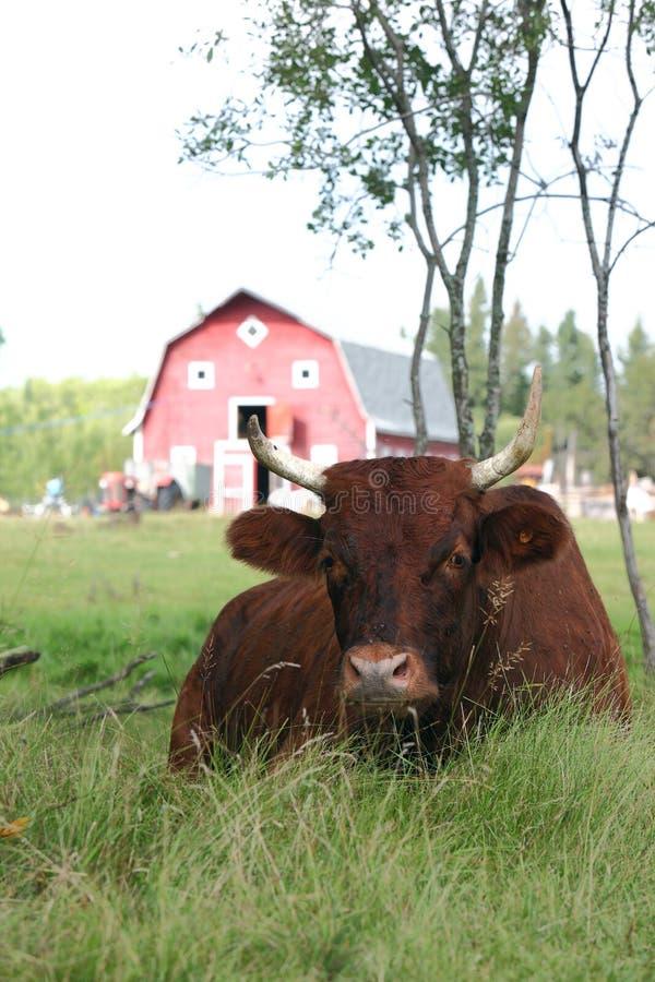 Vaca en la sombra fotografía de archivo