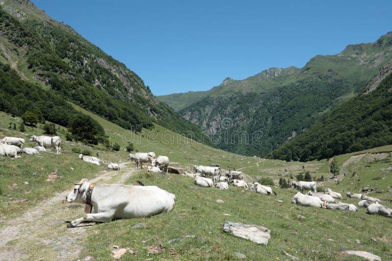 Vaca en los valleyPyrenees de Orlu foto de archivo libre de regalías