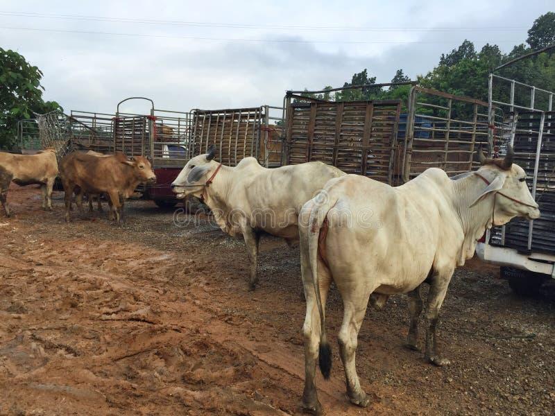 Vaca en mercado del ganado en el subburb en Tailandia fotos de archivo libres de regalías