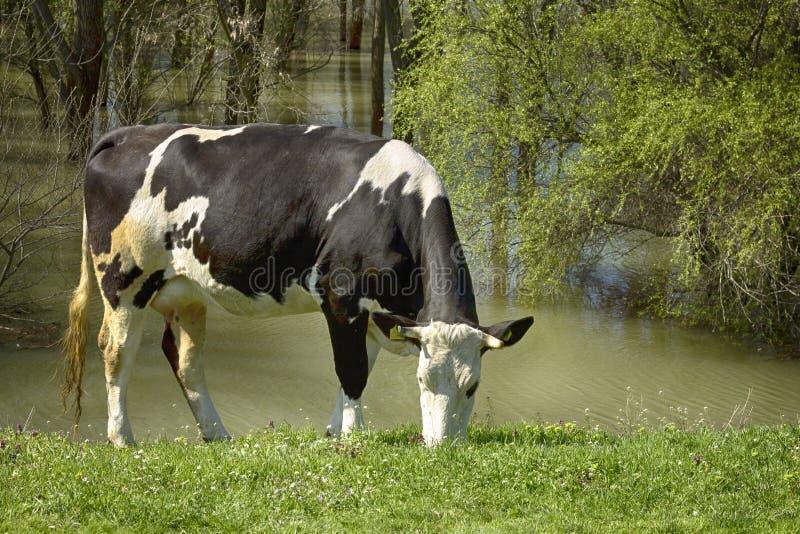 Vaca en naturaleza fotografía de archivo