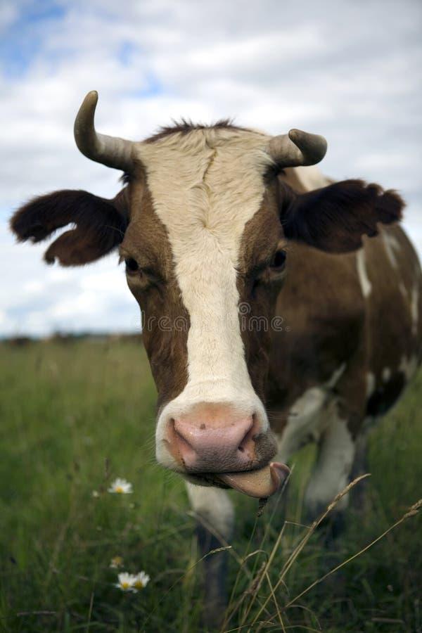 Vaca en naturaleza imagen de archivo