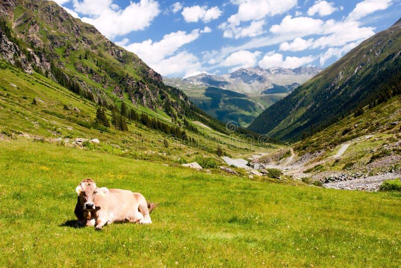 Vaca en pasto de la montaña fotografía de archivo