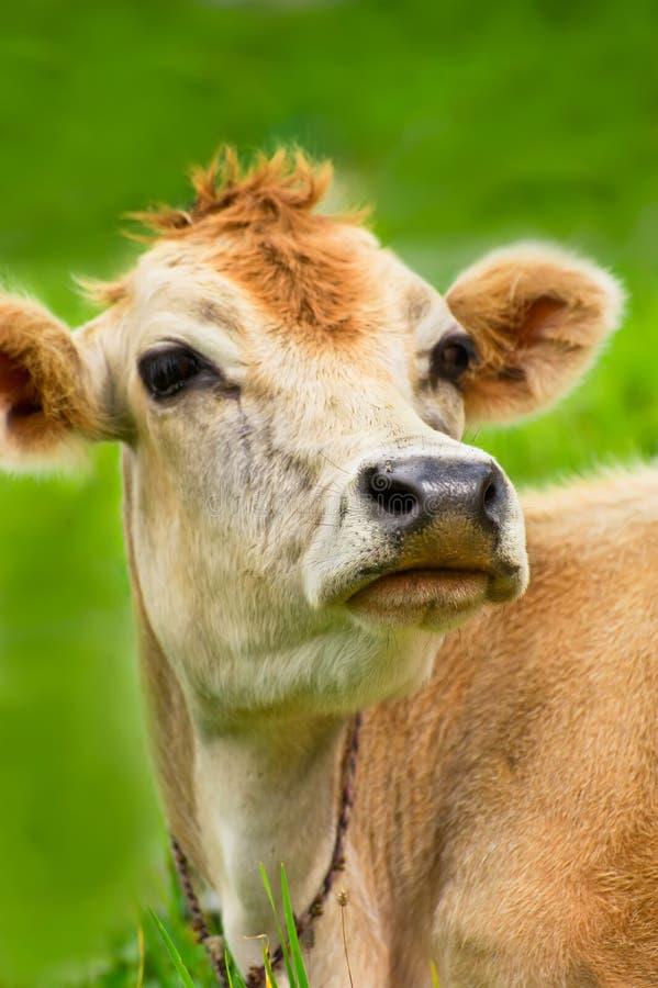 Vaca en prado fotografía de archivo