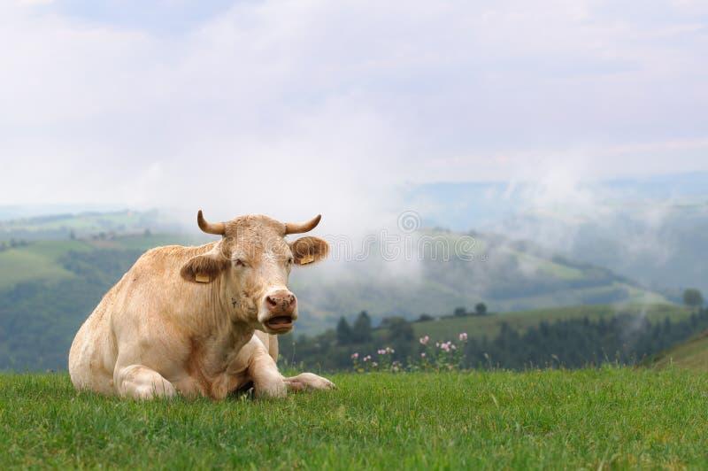 Vaca en prado con las colinas brumosas foto de archivo