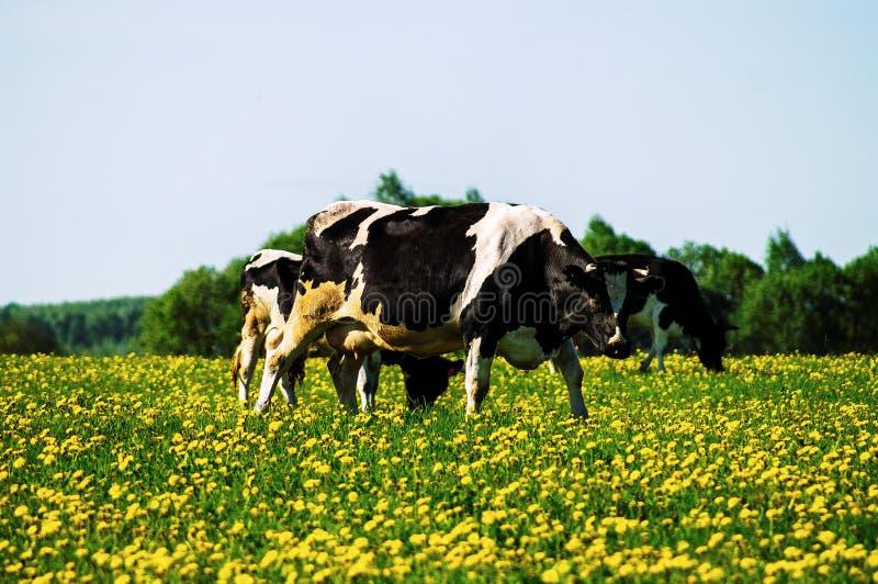 Vaca en prado de la flor fotos de archivo