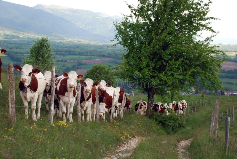 Vaca en Rhone Alpes imágenes de archivo libres de regalías