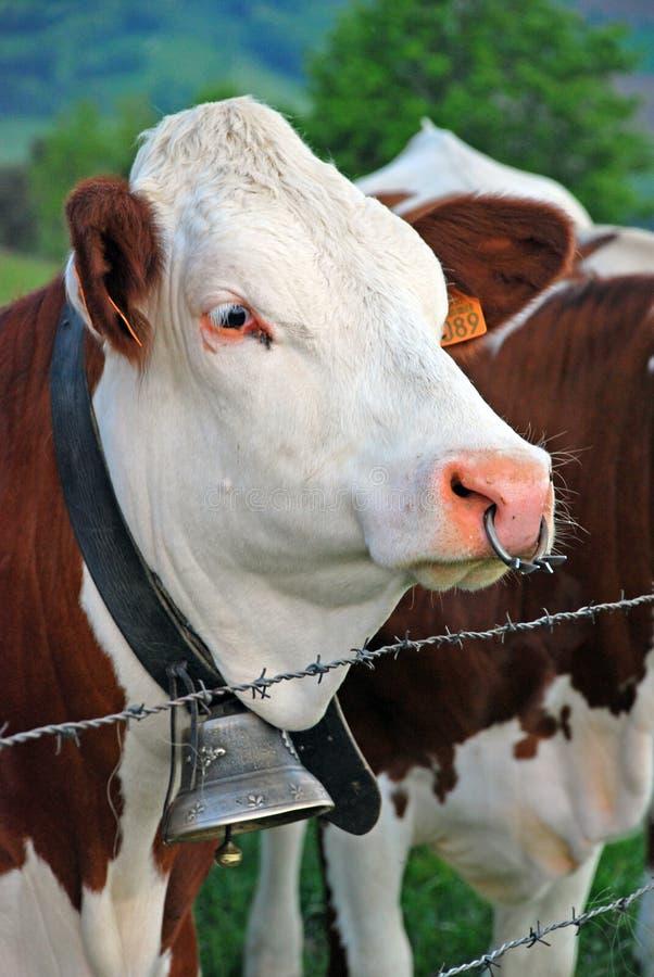 Vaca en Rhone Alpes foto de archivo libre de regalías