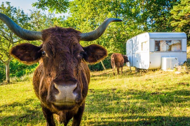 Vaca en un camping imagenes de archivo