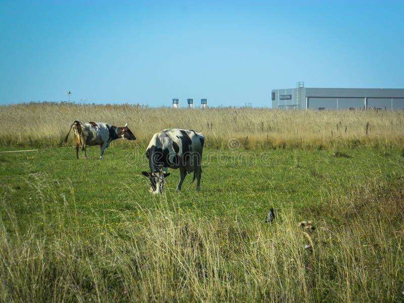 Vaca en un campo en una planta del fondo en Rusia central fotografía de archivo