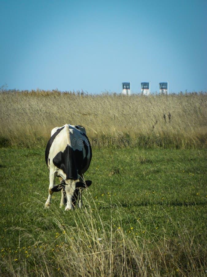 Vaca en un campo en una planta del fondo en Rusia central imagen de archivo