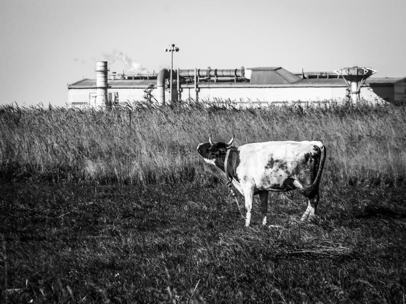 Vaca en un campo en una planta del fondo en Rusia central foto de archivo libre de regalías