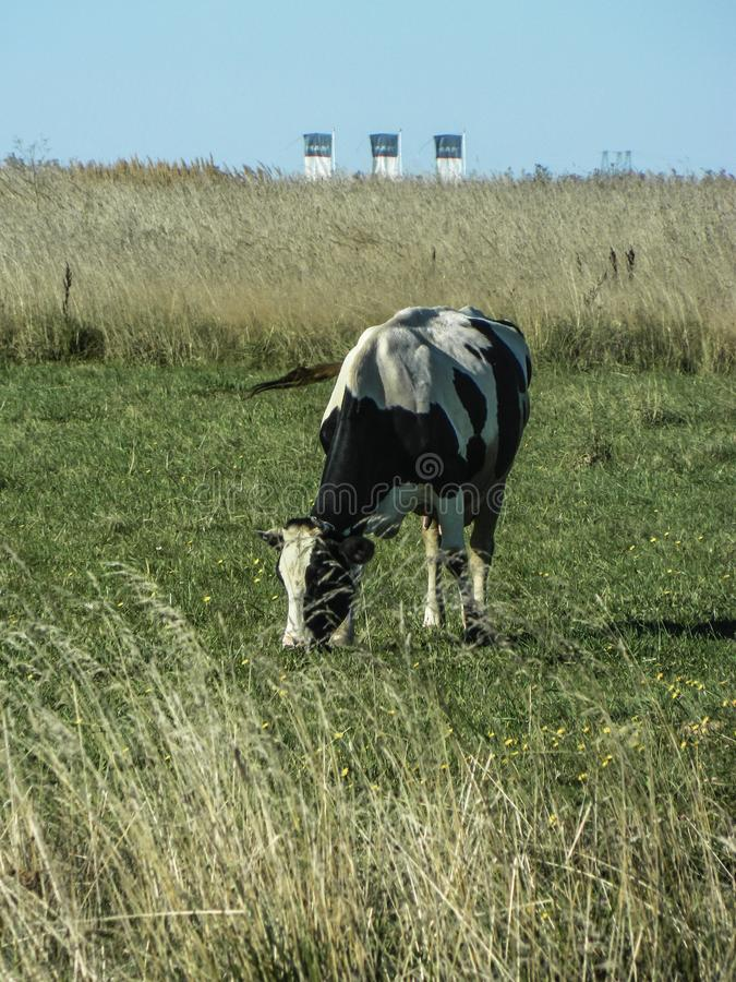 Vaca en un campo en una planta del fondo en Rusia central foto de archivo