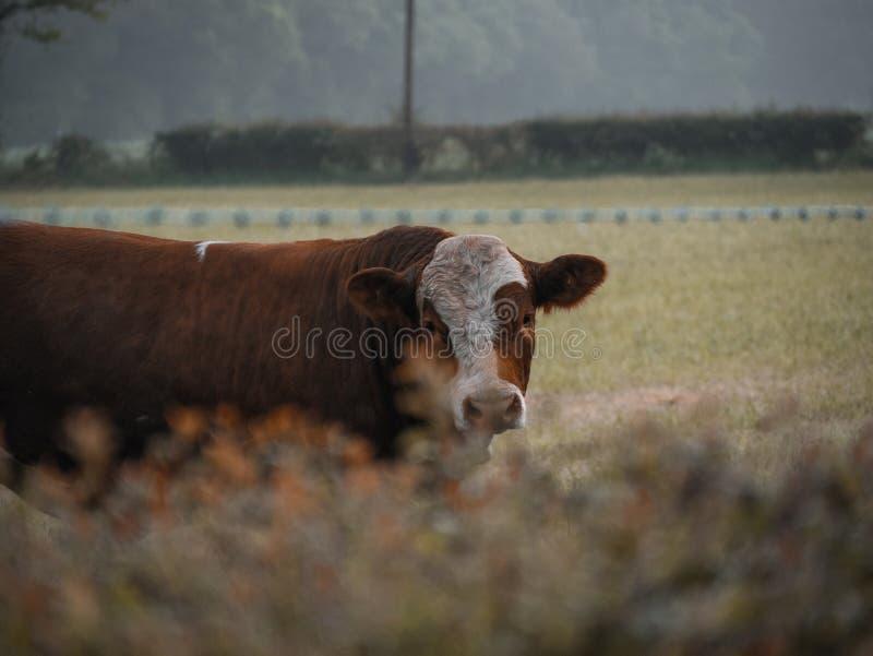 Vaca en un día embotado fotografía de archivo