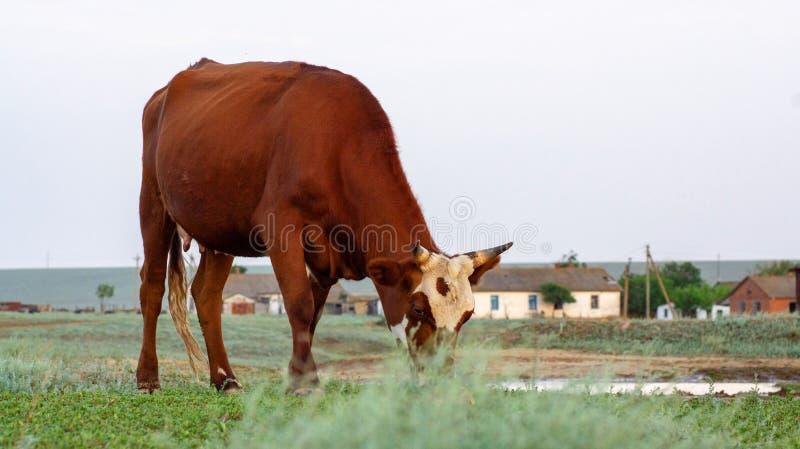 Vaca en un pasto del verano fotografía de archivo
