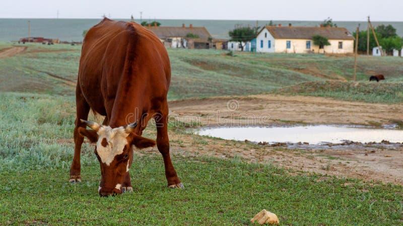 Vaca en un pasto del verano foto de archivo libre de regalías