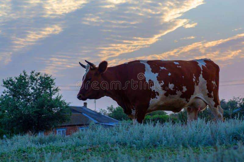Vaca en un pasto del verano imagen de archivo